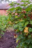 Red currant bush. Currant ripening in summer royalty free stock photos