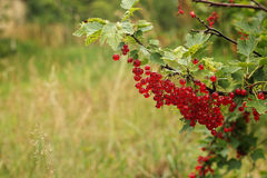 Red currant bush. Royalty Free Stock Photography