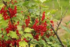 Red currant bush. Stock Photos