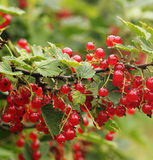 Red currant bush. Stock Image