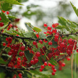 Red currant bush. Royalty Free Stock Photos