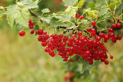 Red currant bush. Royalty Free Stock Images