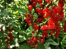 Red currant. Bush of red currant in the summer Royalty Free Stock Photo