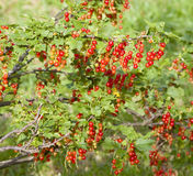 Red currant bush Royalty Free Stock Image