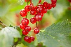Red currant bush at summer garden branch Royalty Free Stock Photos