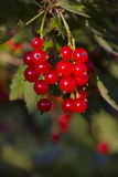 Red currant. Closeup of a bunch of red currant Stock Photography