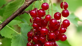 Red currant closeup stock video footage
