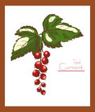 Red currant color vector illustration Royalty Free Stock Photography