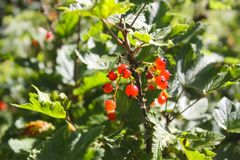 Red currant. Currant on a bush. Red currant. Red ripe berries on a bush in summer garden stock photography