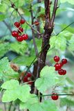 Red Currant. S on the bush Stock Image
