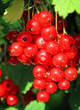 Red currant. S ripen in summer Stock Photo