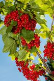 Red currant - detail Royalty Free Stock Image