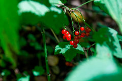 Red currant. Detailed view of the red currant berries Royalty Free Stock Photo