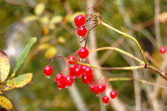 Red currant. Fresh red currant on the tree Royalty Free Stock Photos