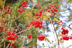 Red currant. Fresh red currant on the tree Stock Photography