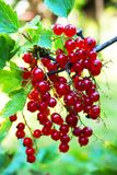 Red currant fruit. As very nice natural food background royalty free stock photo