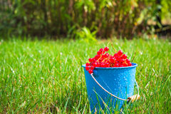 Red currant fruit bucket grass Stock Photos