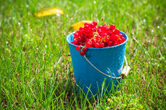 Red currant fruit bucket grass Royalty Free Stock Photo