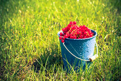Red currant fruit bucket grass Royalty Free Stock Images
