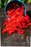 Red currant fruit bucket summer pouring wooden table Royalty Free Stock Photo