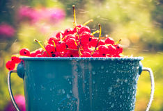 Red currant fruit bucket summer rain drops water Royalty Free Stock Photos