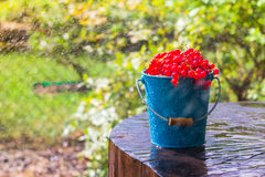 Red currant fruit bucket summer rain drops water wooden Stock Photography