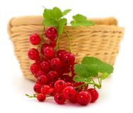 Red currant fruit. With leaf sprigs in basket isolated over white background royalty free stock photos