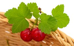 Red currant fruit. With leaf sprigs in basket isolated over white background stock photos
