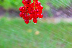 Red currant fruit  poured water hose Royalty Free Stock Image