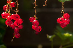 Red Currant fruit on the shrub Royalty Free Stock Photography