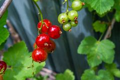 Red currant fruits on branch growing in early Summer. In backyard garden royalty free stock images