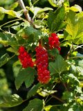 Red currant fruits Royalty Free Stock Photography