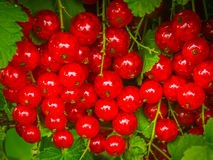 Red currant. From the garden stock image