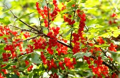 Red currant in a garden. Bush of red currant in a garden royalty free stock photo