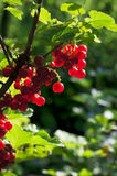 Red currant in garden Stock Images