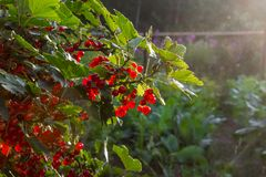 Red currant in the garden. Bush red currant. Bush red currant. Red currant in the garden. Country house. Berries royalty free stock photos