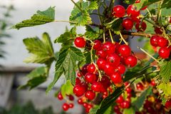 Red currant in the garden. Bush red currant. Bush red currant. Red currant in the garden. Country house. Berries stock photography
