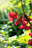 Red currant in garden Royalty Free Stock Image