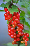 Red currant in the garden. Red currant sponge cake. Plate with Assorted summer berries, raspberries, strawberries, cherries, currants, gooseberries. Fresh summer Stock Images