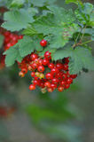 Red currant in the garden Royalty Free Stock Images