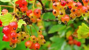 Red currant getting ripe stock video footage