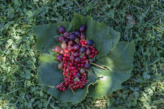 Red currant, grapes on green leaves in grass Royalty Free Stock Photography