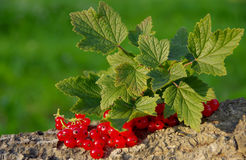 Red currant on a green background Royalty Free Stock Photos
