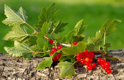 Red currant on a green background Royalty Free Stock Photography