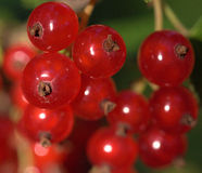 Red currant with green leafs in hot summer Royalty Free Stock Image