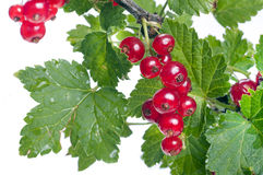 Red currant with green leaves close up Royalty Free Stock Photo