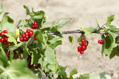 Red currant grow in garden. On blurred background Royalty Free Stock Photo