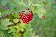 Red currant grows on a bush in the garden, berry, harvest, summer, plant.berries harvest on the red currant bush in. Red currant grows on a bush in the garden stock photos