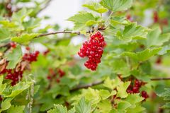 Red currant grows on a bush in the garden, berry, harvest, summer, plant.berries harvest on the red currant bush in royalty free stock photo