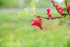 Red currant grows on a bush in the garden, berry, harvest, summer, plant.Bunch of red currant on a branch.Nature concept. Red currant grows on a bush in the royalty free stock photo